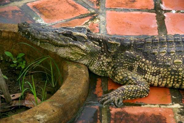 крокодиловая ферма в Нячанге фото