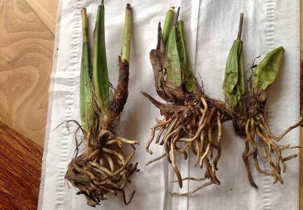 как сажать орхидеи из вьетнама