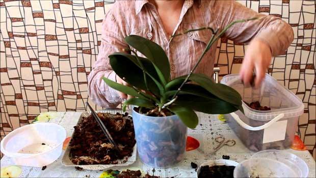 Как пересадить орхидею из Вьетнама
