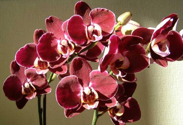 Как правильно выращивать орхидеи из Вьетнама
