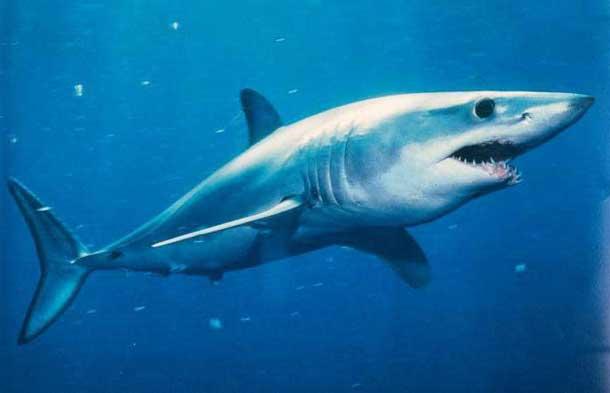 Есть ли акулы во Вьетнаме и Нячанге: фото