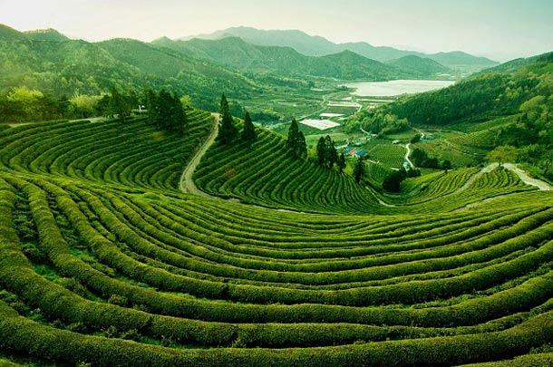 Чайные плантации на Гоа