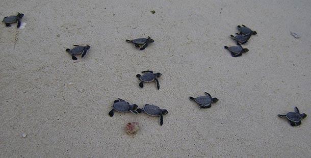 Остров черепах (Кон Дао)